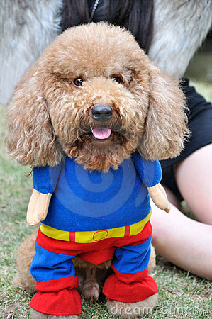 Pudelhund in der Kleidung