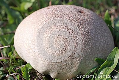 Puff-ball  mushroom