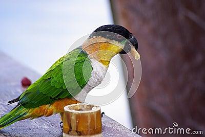 Puff Parrot
