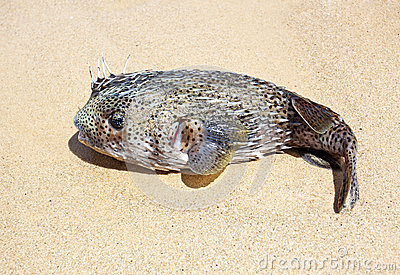 Puffer on the beach