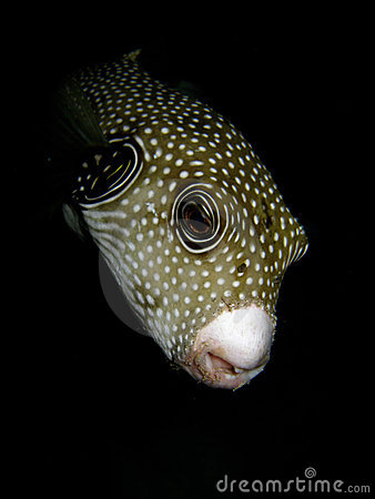 Puffer fish on a night dive