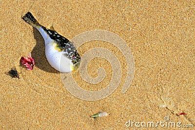 Pufferfish on the beach