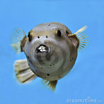 Pufferfish, Seal face puffer fish.