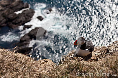 A Puffin on the cliff