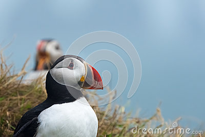 Puffin, Dyrholaey, Southern Iceland Stock Photo
