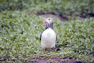 Puffin ewith Sand Eels in it s Beak