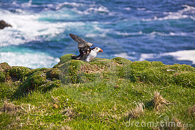 Puffin flapping wings