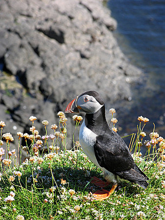 Free Puffin On Cliff Stock Image - 915621