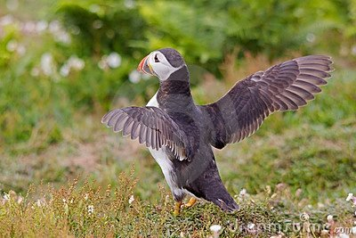 Puffin With Wings Spread