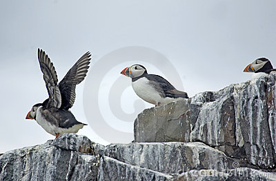 Puffins on Cliff Top.