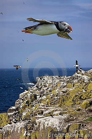 Free Puffins On The Farne Islands - England Royalty Free Stock Photography - 17263577