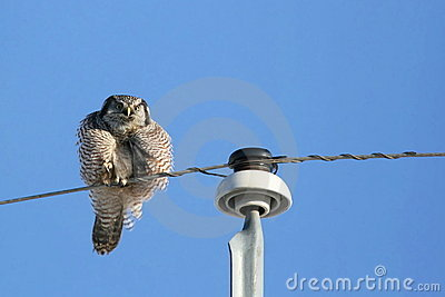 Puffy Northern Hawk Owl
