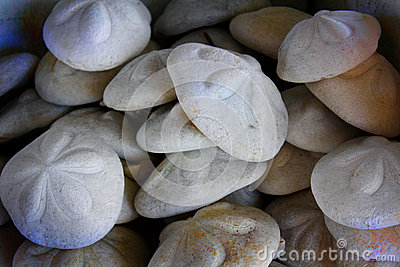 Puffy Sea Biscuit Shells