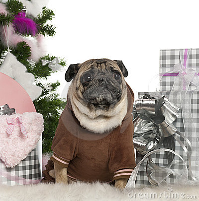 Pug, 6 years old, with Christmas tree and gifts