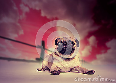 Pug dog against studio sunset backdrop