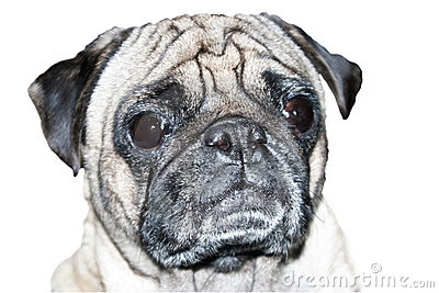 Pug Dog Head Shot