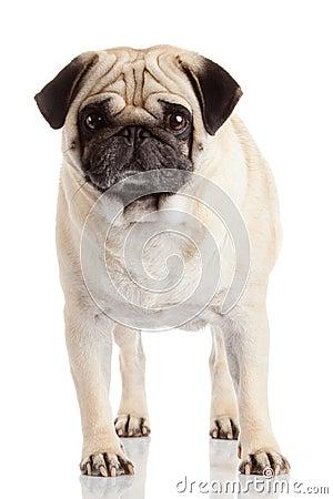 Free Pug Dog Isolated Royalty Free Stock Photography - 53424577