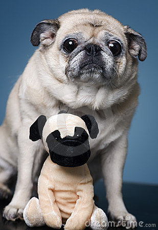 Pug with a furry friend