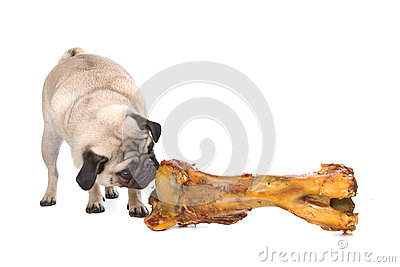 Pug with a huge bone