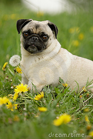 Free Pug In Flowers Stock Photos - 14448213