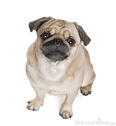 pug pierced in front of white background stock image