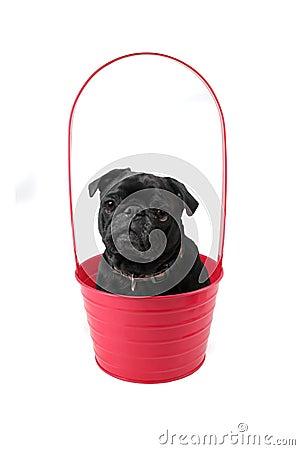 Pug in Pot