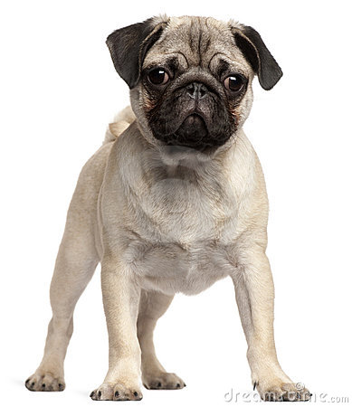Pug Puppy, 3 Months Old, Standing Royalty Free Stock Photography ...