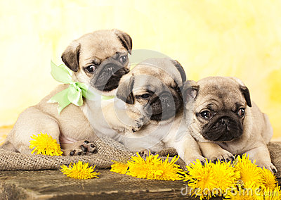Pug puppy and dandelions