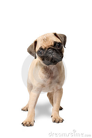 Pug puppy dog standing