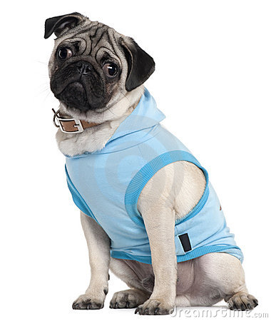 Pug puppy dressed in blue hoodie, 6 months old
