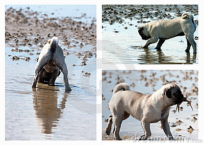 Pug Puppy Hunting Collage