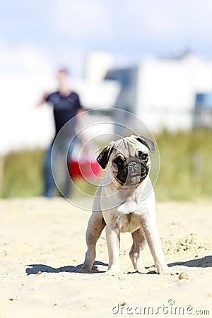 Pug puppy outdoor portrait