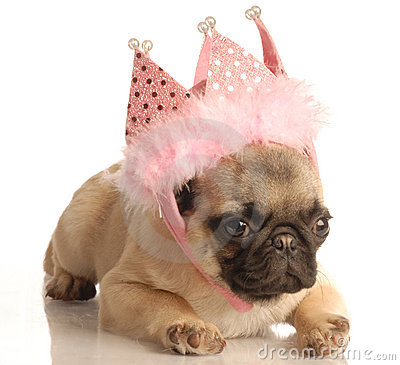 Pug puppy with pink tiara