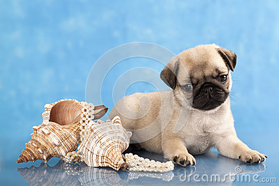 Pug puppy  and sea shells