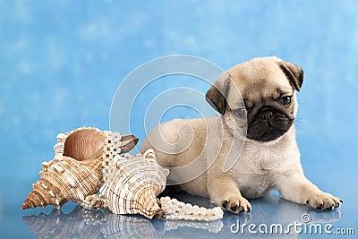 Pug puppy  and sea shells