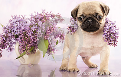 Pug Puppy And Spring Lilas Flowers Royalty Free Stock