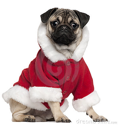 Pug puppy wearing Santa outfit, 6 months old