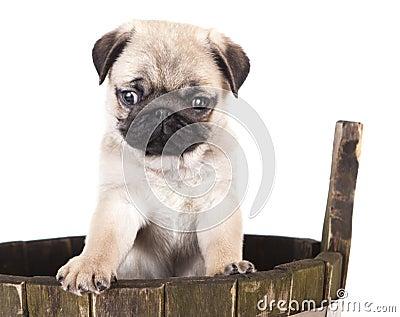 Pug purebred puppy