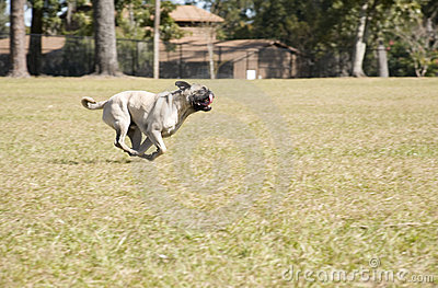 Pug Running at Dog Park