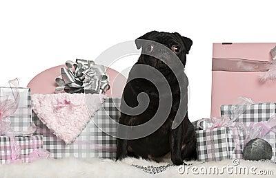 Pug sitting with Christmas gifts