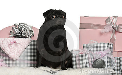 Pug sitting with Christmas gifts