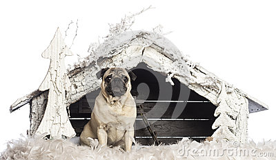 Pug sitting in front of Christmas nativity scene
