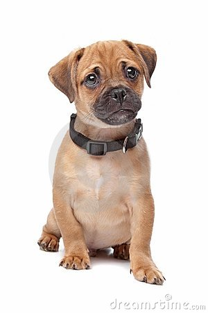 Pug Spaniel mix breed dog