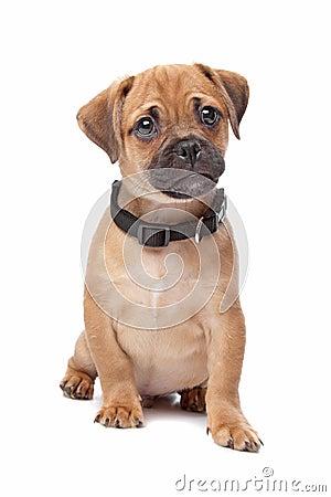 Pug Spaniel mix breed dog