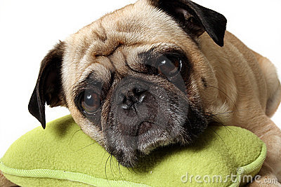 Pug With A Toy