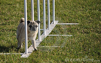 Pug and weave poles at dog agility trial