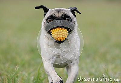 Pug with yellow ball
