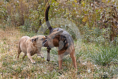 Puggle and Boxer Shepherd mixed breed dogs