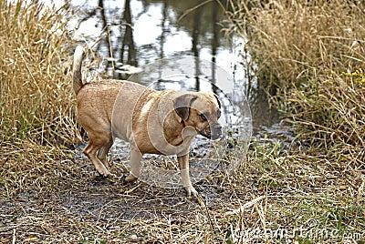 Puggle mixed breed dog.