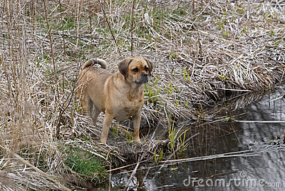 Puggle standing at pond